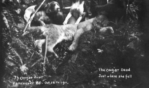 fallen-cougar